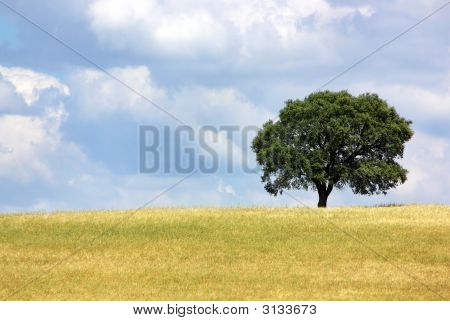 Solitary Tree In Yellow Field.