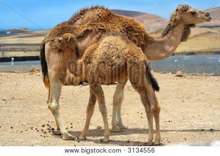 Baby Camel Near Mother Camel In The Desert