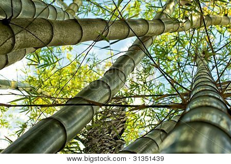 Tall Bamboo Trees Growing
