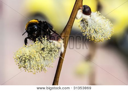 bumble bee feeds