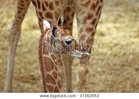Giraffe With Calf