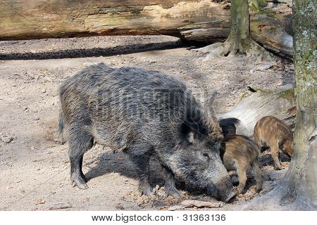 wild pig with piglets