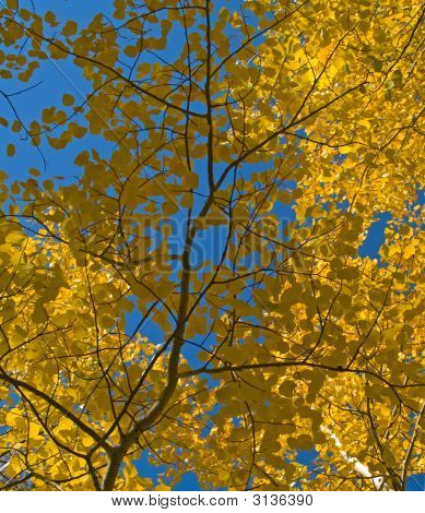 Aspen Leaves Under Blue Sky