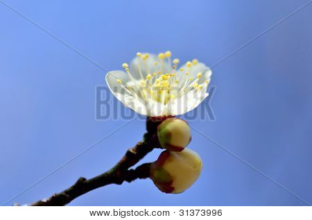 Flower Of The Plum.