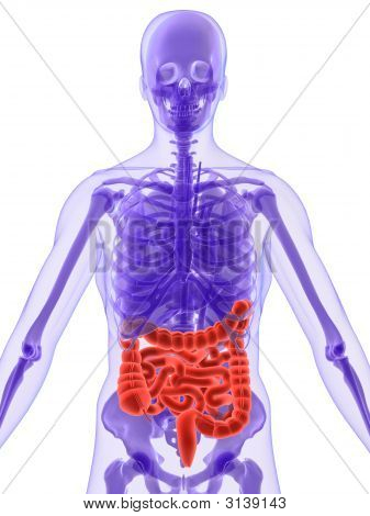 3D Anatomy - Intestines