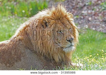 männlichen Erwachsenen Löwen