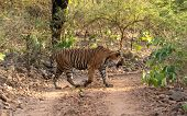 Mystery Male Bengal Tiger Crossing One Of Jungle Trail In Dry Deciduous Forest During Full Day Safar poster