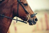 The Muzzle Is Sports Red Stallion In The Bridle. Dressage Horse. Equestrian Sport. poster
