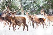 Artistic Winter Christmas Nature Image. Winter Wildlife Landscape With Noble Deers Cervus Elaphus. M poster