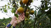 Orange Harvest. Picking Local Orange In A Tree. Healthy Fresh Fruit From The Tree. Orange In Hand. O poster