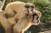 Wild Monkeys In The Jungle. Monkey Carrying His Cub On The Back. Primate Macaco Prego - Sapajus Gend poster