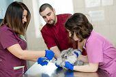 Vets Put Catheter Cat Before Procedure In Vet Clinic. poster