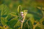 The Stem Of A Flowering Soy Plant In A Field Reaches For The Sun. Young Flowering Soybean Plants On  poster
