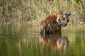 Royal Bengal Male Tiger Resting And Cooling Off In Water Body. Animal In Green Forest Stream. Wild C poster