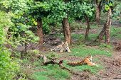 Two Radio Or Tracking Collar Bengal Tigers Or A Mating Pair In Beautiful Green Trees And Background  poster