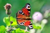 The European Peacock (aglais Io), More Commonly Known Simply As The Peacock Butterfly, Is A Colourfu poster
