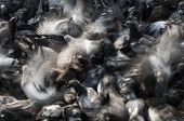 stock photo of mayhem  - Group of pigeons feeding and fighting in chaos - JPG