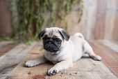 An Adorable Pug Puppy Sitting On Wood Background poster