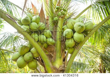 Bunch Of Coconut On Coconut Tree
