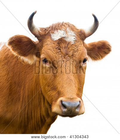 Head Of Cow, Isolated