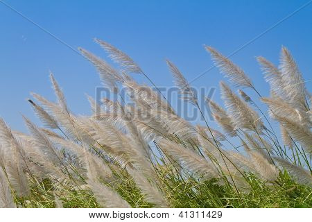 Reed flower blown by the wind