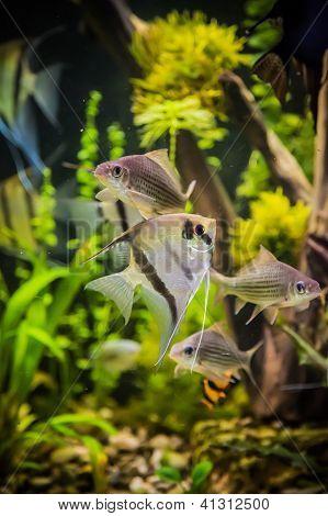 Aquário de água doce com peixes Pterophyllum Scalare