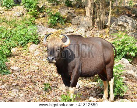 Wild Gaur Or Seladaing
