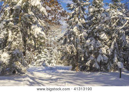 Snow Flocked Pines, Ski Trail