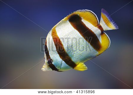 South African Butterflyfish (Chaetodon marleyi) - Marine species