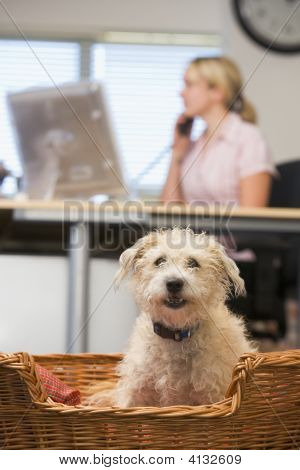 Dog Lying In Home Office With Woman In Background