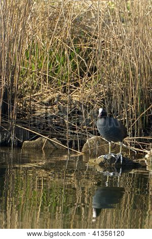 Black Common Moorhen sitting on a stone in the water
