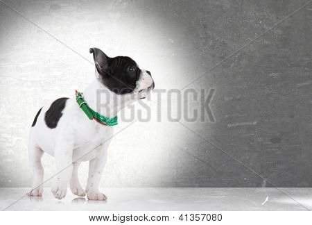 side view of a walking french bulldog puppy looking up at something on gray background