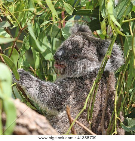 Koala. Australia