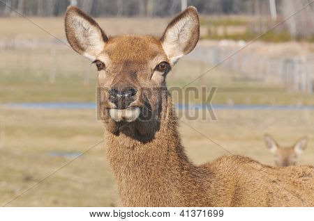 New Zealand red deer