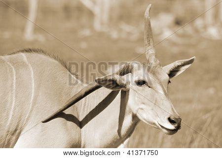 Eland (Cape or Livingstone's) (Tragelaphus oryx). Largest of all the world's antelope.