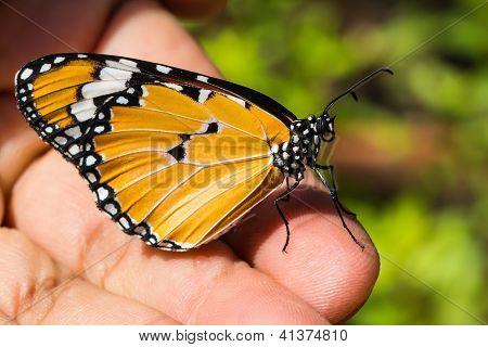 El tigre llano (danaus Chrysippus Chrysippus) mariposa