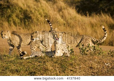 Four Cheetah On Safari