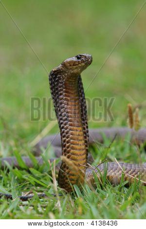 Cape Cobra Snake