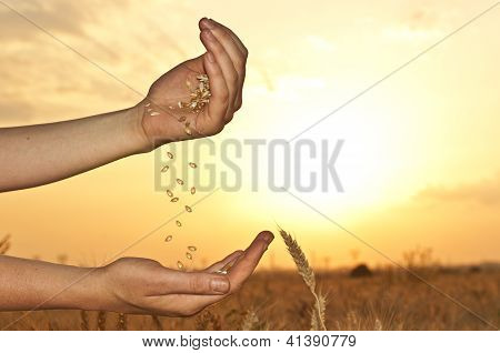Wheat In Hands On Sunset