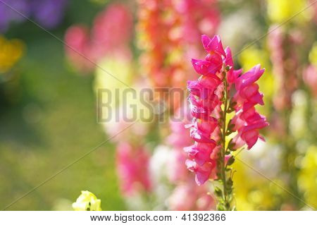 snapdragon flowers in the garden