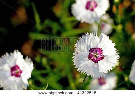 white sweet william (Dianthus barbatus) flower