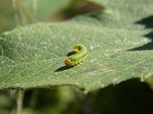 Photo of green caterpillar.