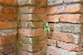 Bodhi tree growing on old temple brick wall