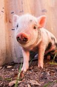 foto of piglet  - Close - JPG