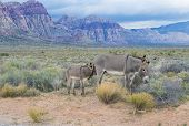 stock photo of horses ass  - A young wild burro with his mother in the Nevada desert