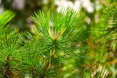 image of conifers  - Background from conifer evergreen tree branches texture - JPG