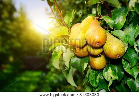 Fresh Organic Pears On Tree Branch