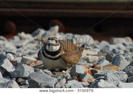 Kildeer Guarding Eggs