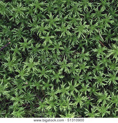 Green Peat Moss