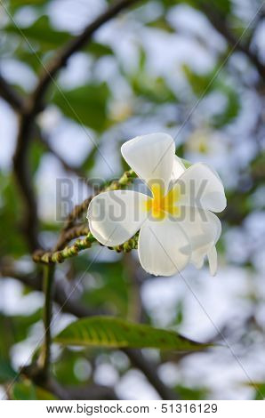 White Frangipani Flowers In Bunch